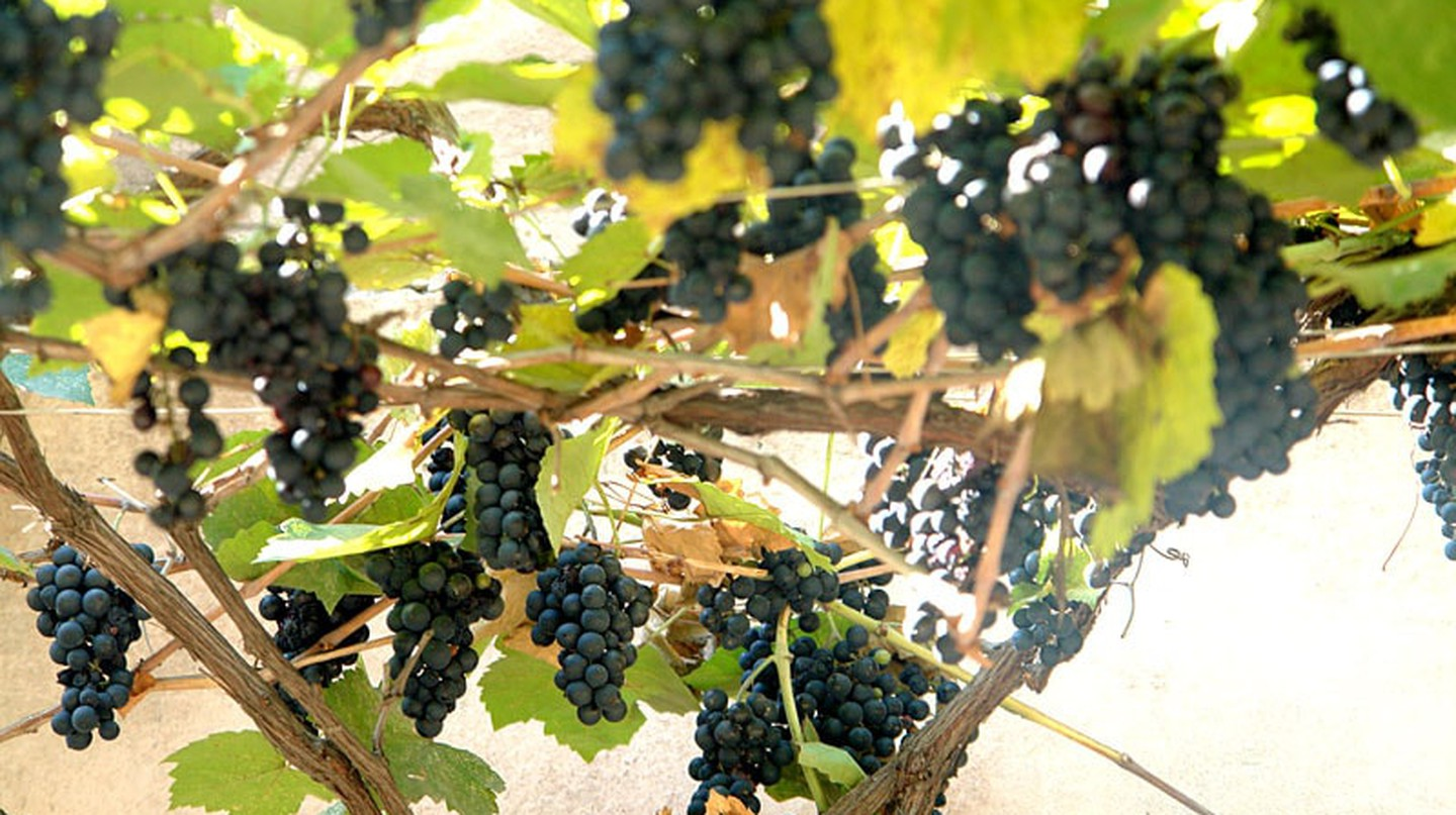 Georgian grape | © Paata Vardanashvili /  WikiCommons