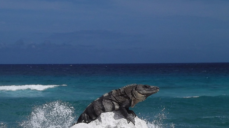An iguana on the rocks of a beach in Cozumel | © henigede / Pixabay