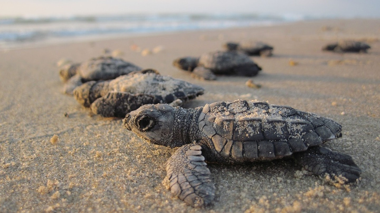 Hatchling turtles | © skeeze/pixabay