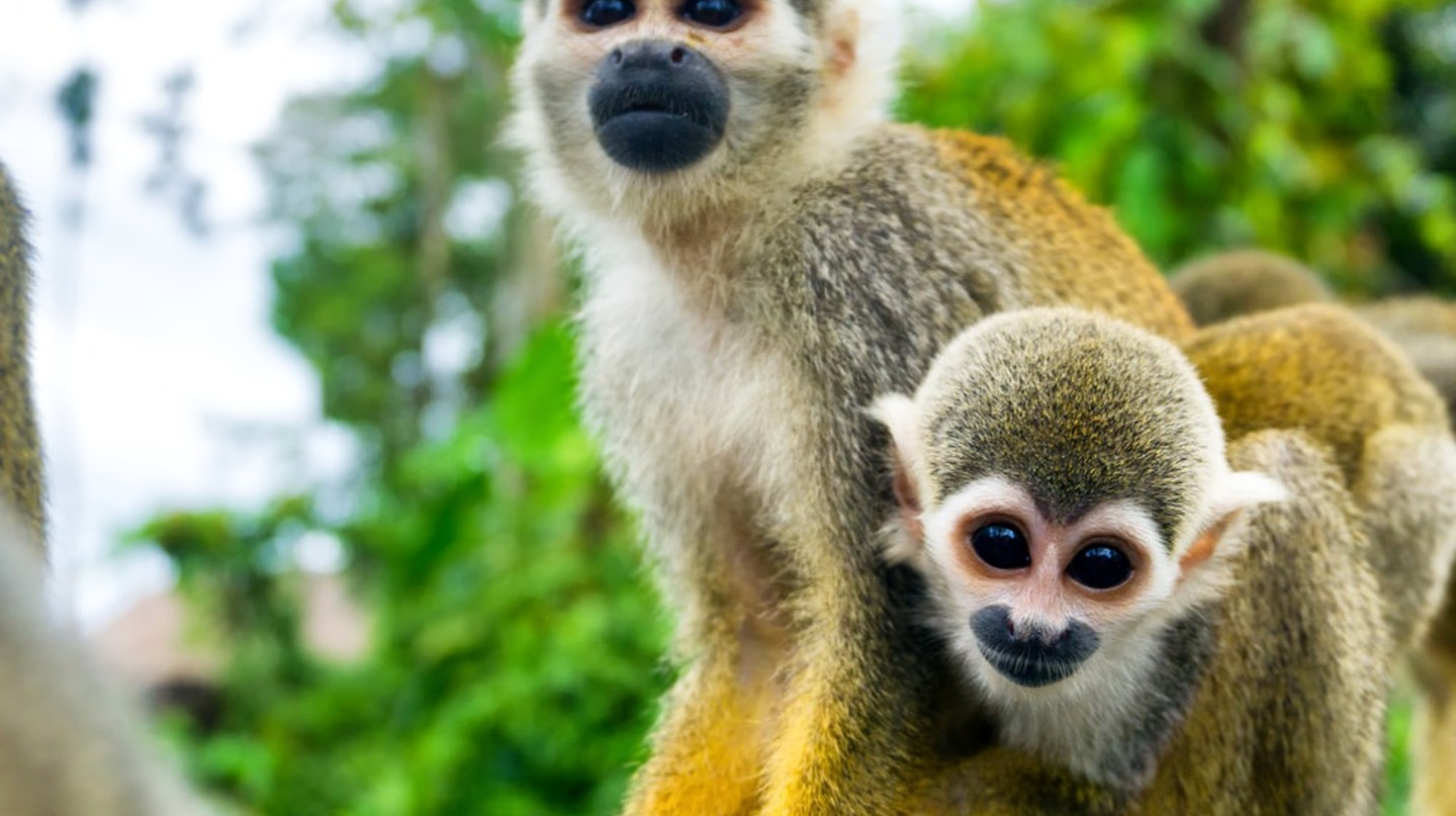 Squirrel Monkeys in the Amazon | © Jess Kraft/Shutterstock