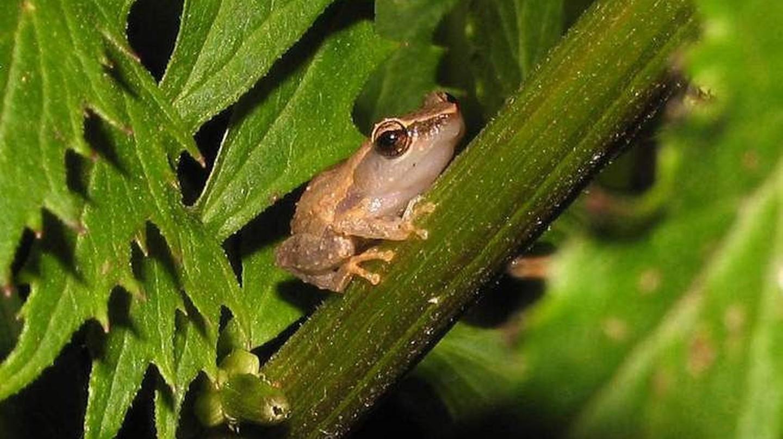 Coquí frog | © Audrey Ulloa/flickr