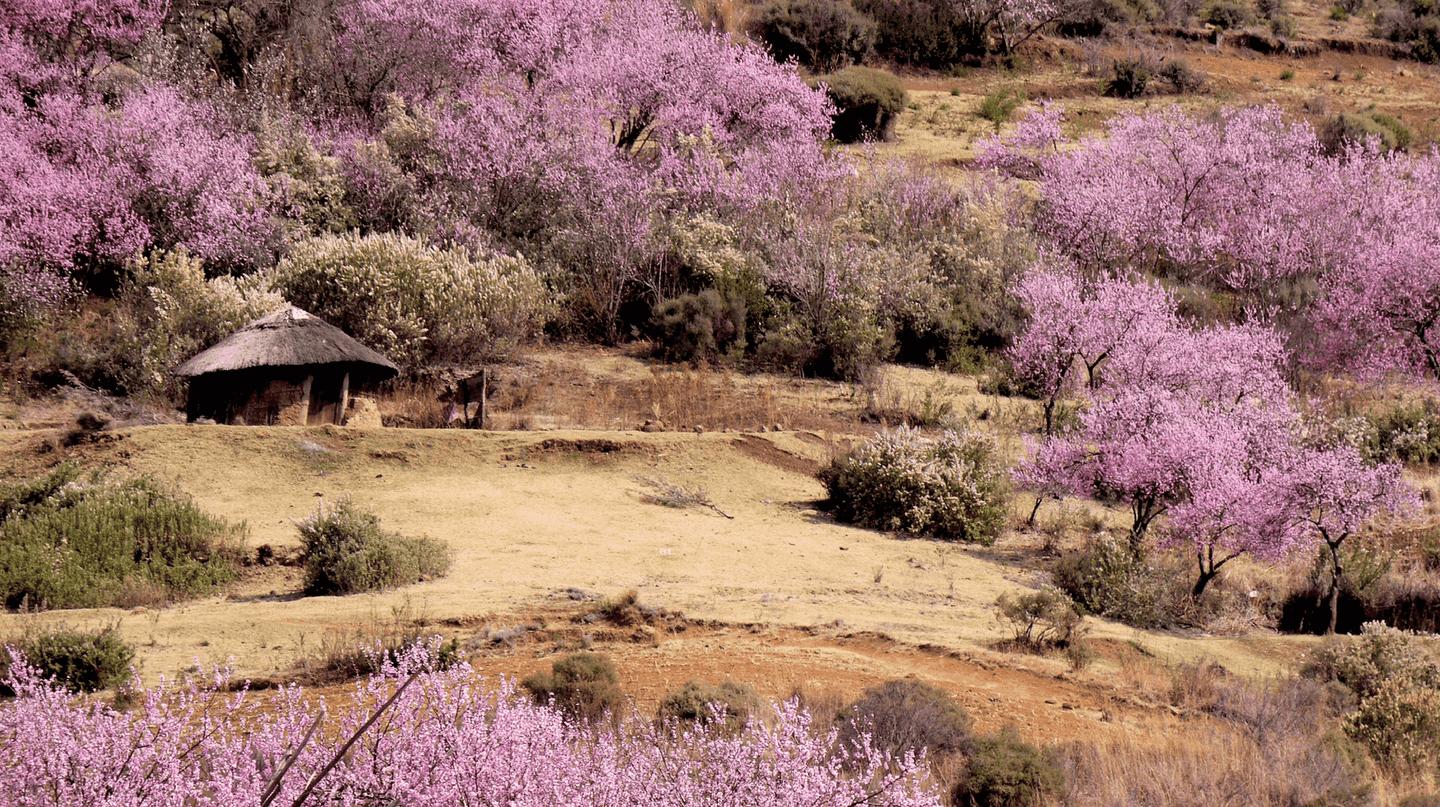 Peach blossoms add pops of colour to the landscape | ©Hbieser/Pixabay