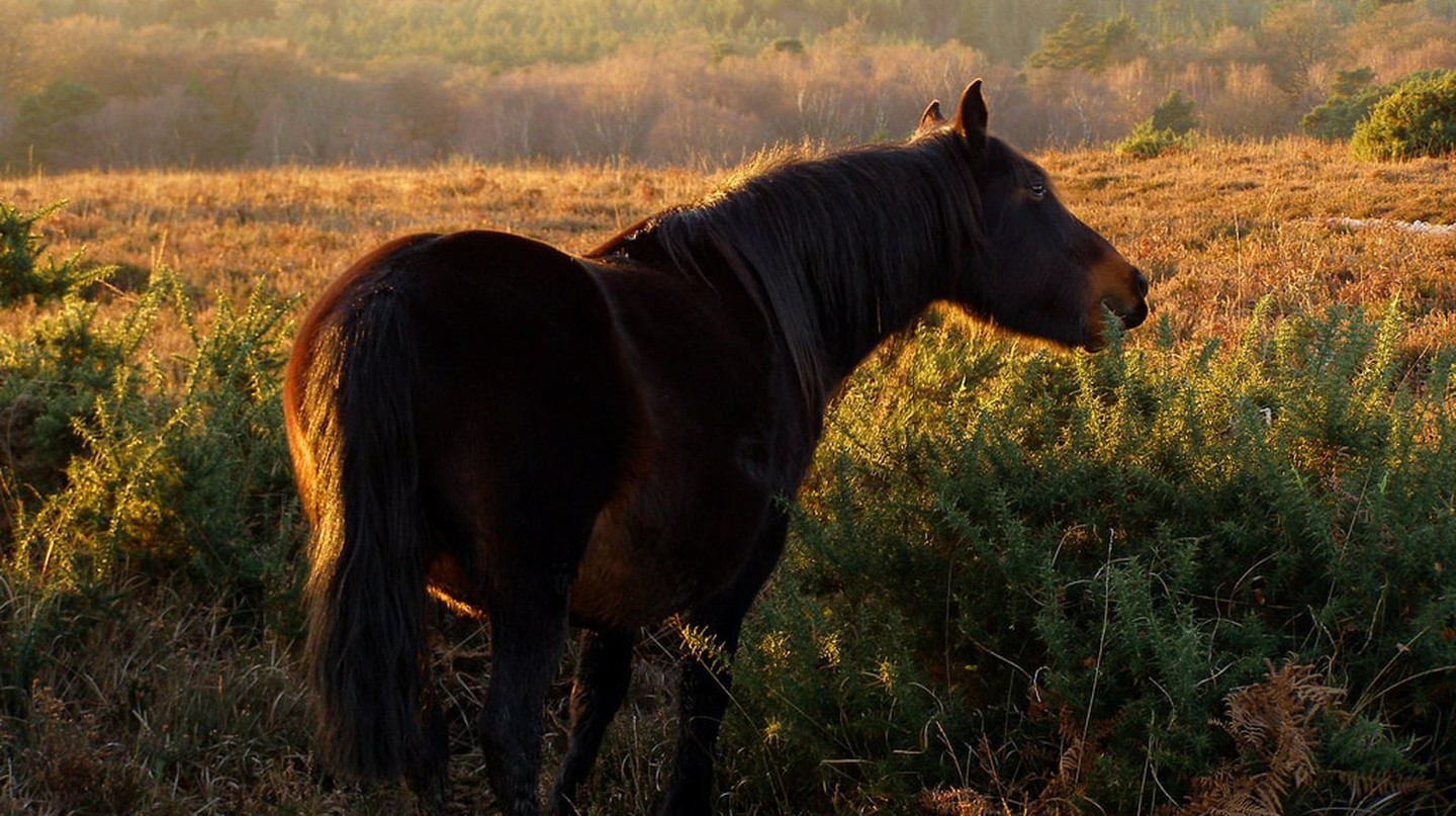 New Forest Pony | © Jim Champion/Flickr