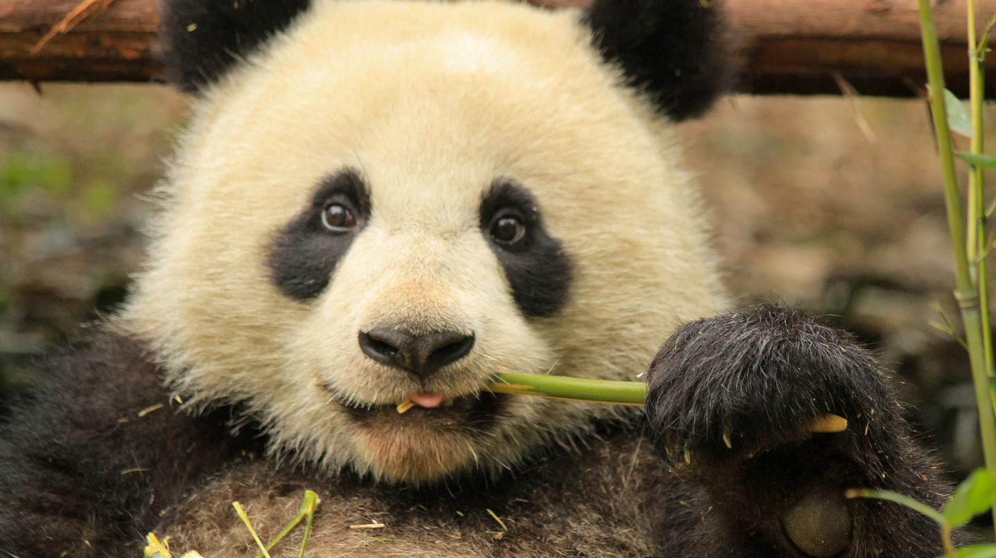 Young Panda in Chengdu Panda Base  | © La Priz