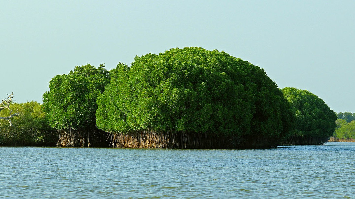 The Pichavaram Mangrove Forest is one of the largest in the country
