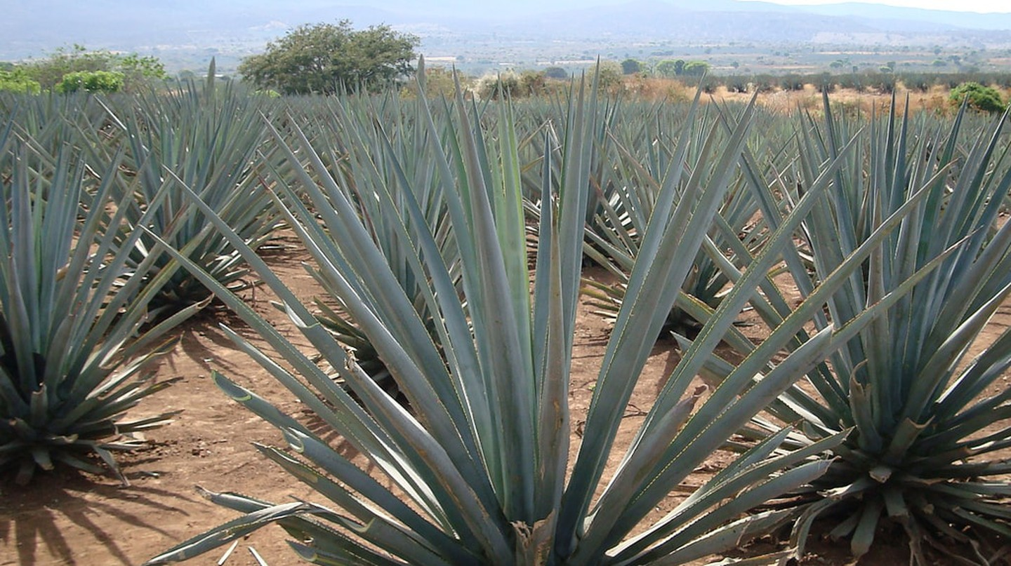 Blue agave plants in Tequila, Mexico│© jay8085 / Flickr