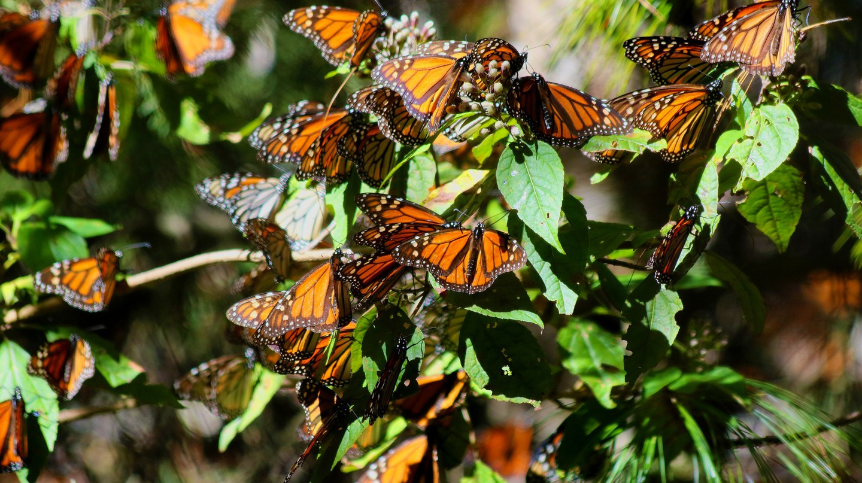 Monarch butterflies│© Rafael Saldaña / Flickr