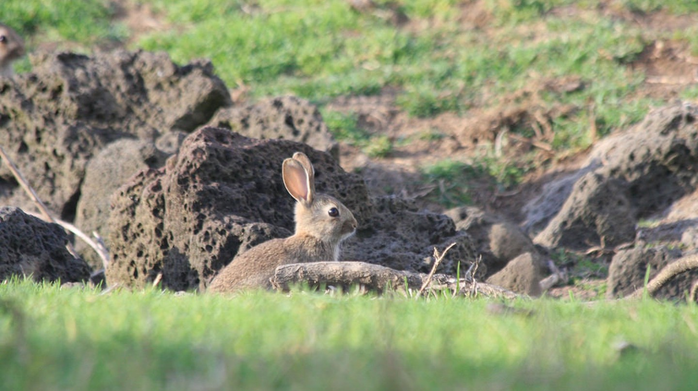 Rabbit in Ambury Park, Auckland, New Zealand   © russellstreet/Flickr