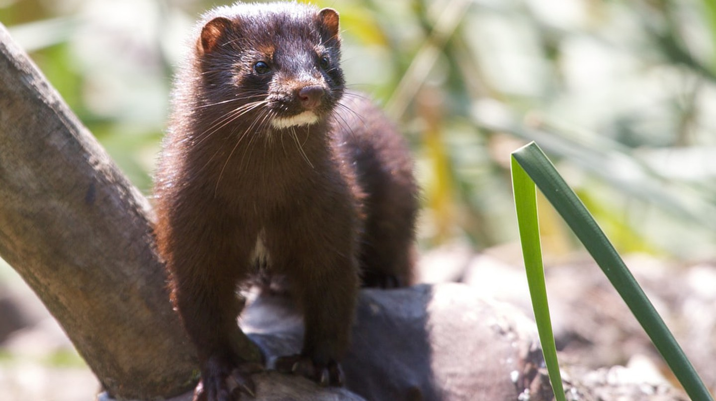 A mink at the park, free as they should be | © Matt MacGillivray/Flickr