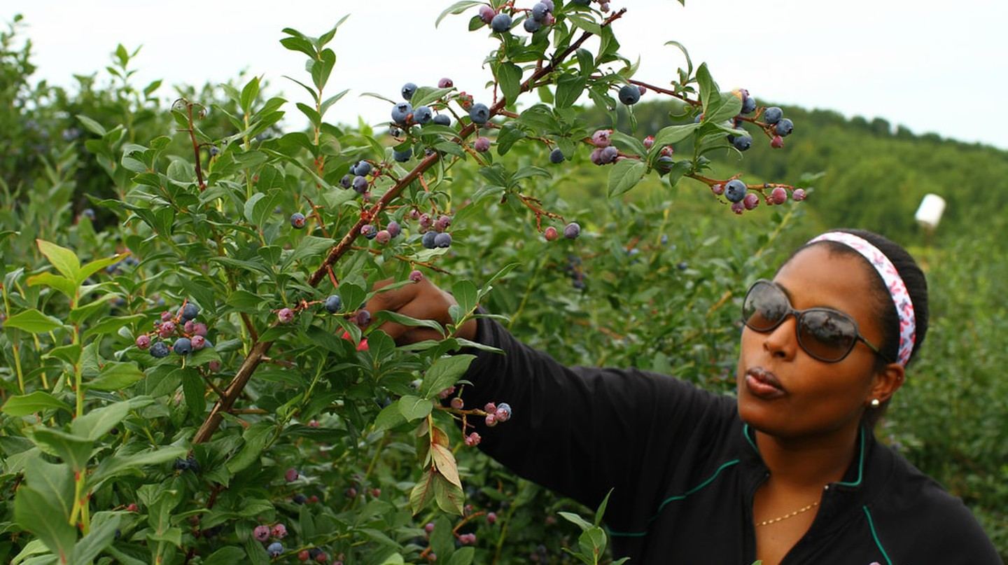 Picking blueberries | © Chris Waits / Flickr