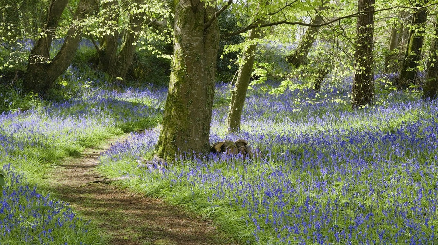 A path winds through the bluebell wood in April on the estate at Godolphin House, near Helston, Cornwall. ©  Courtesy of National Trust Images, Andrew Butler
