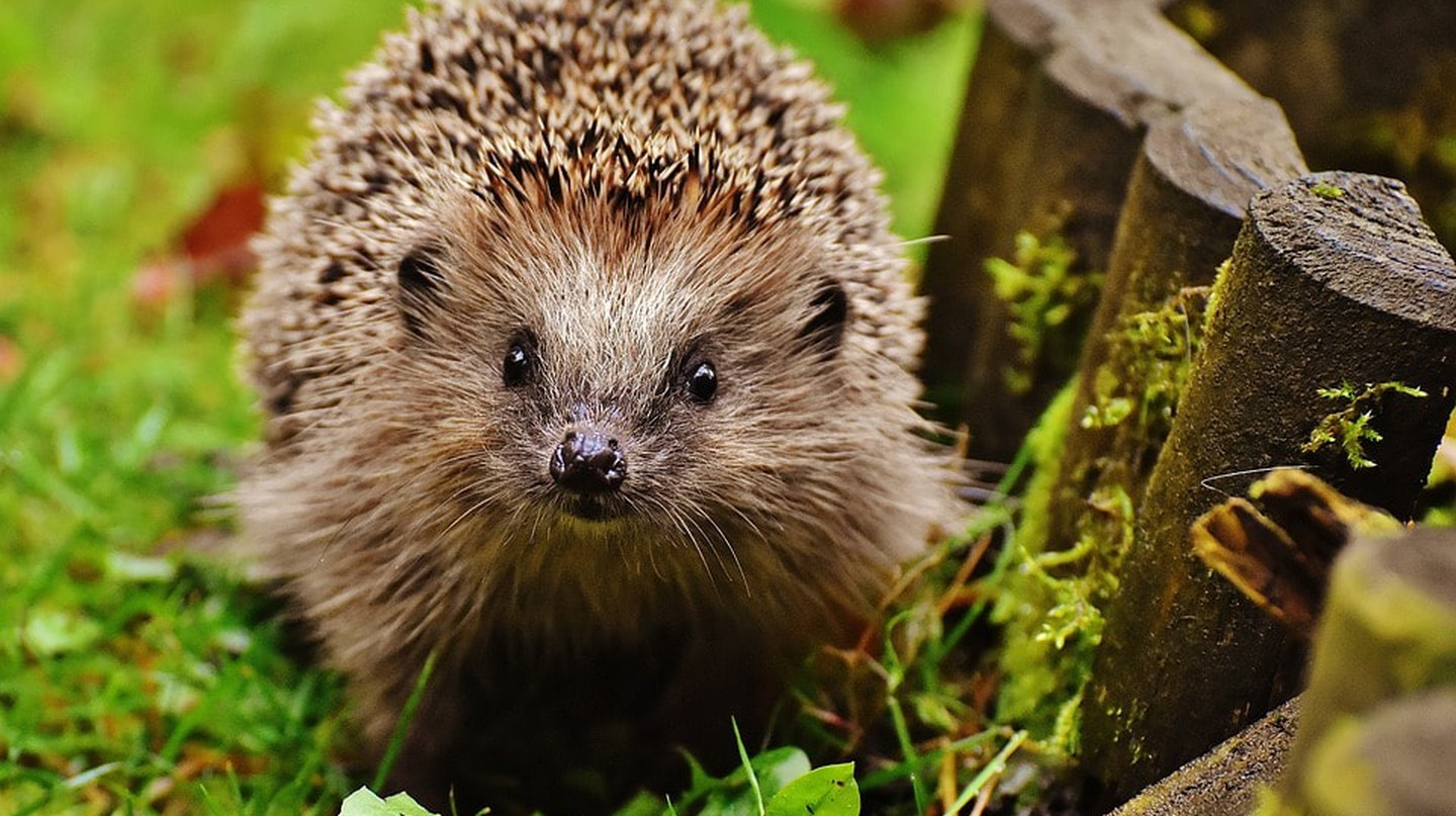 One Kind Londoner Is Making Hedgehog Crossings and They're Adorable