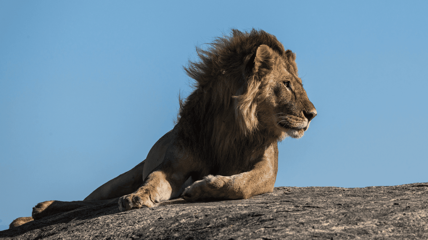 Lion | © Jean Wimmerlin/Unsplash