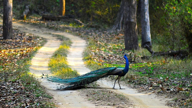 Peacock, the national bird of India, at Kanha National Park, Madhya Pradesh | © Ashishmahaur/Wiki Commons
