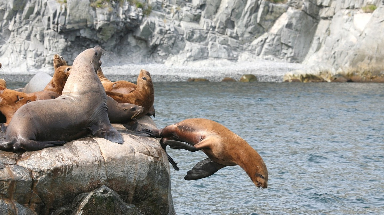 Diving sea lions | © Natalia_Kollegova/Pixabay