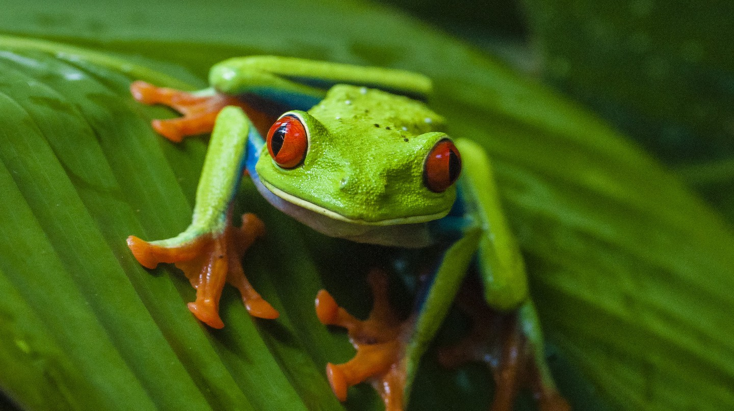 The Costa Rican red-eyed tree frog | © Danel Solabarrieta / Flickr