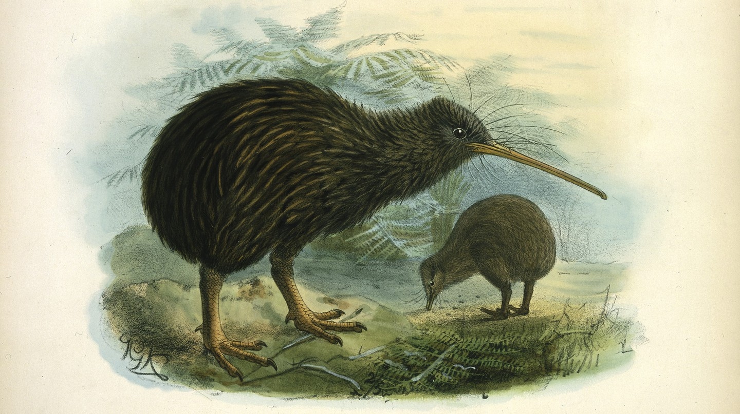Lithograph, Apteryx Mantelli (North Island kiwi), London, 1873