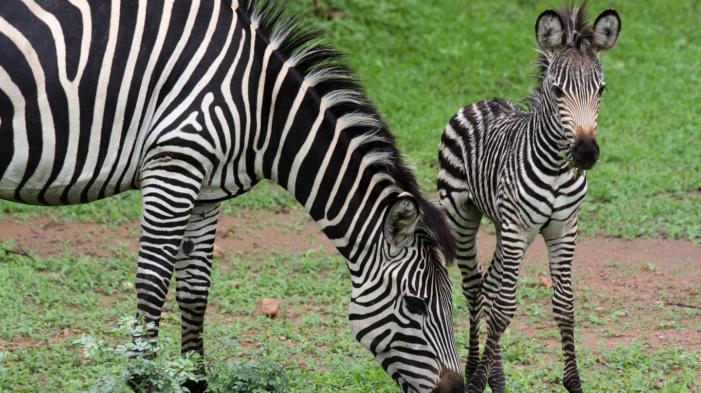 Zebras at South Luangwa National Park| © yeowatzup / Flickr