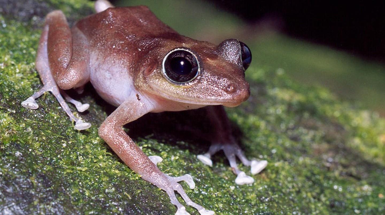 The coquí frog