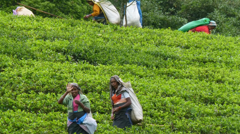 Traditional tea pluckers in Nuwara Eliya