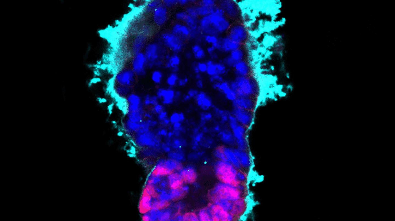 An artificial embryo