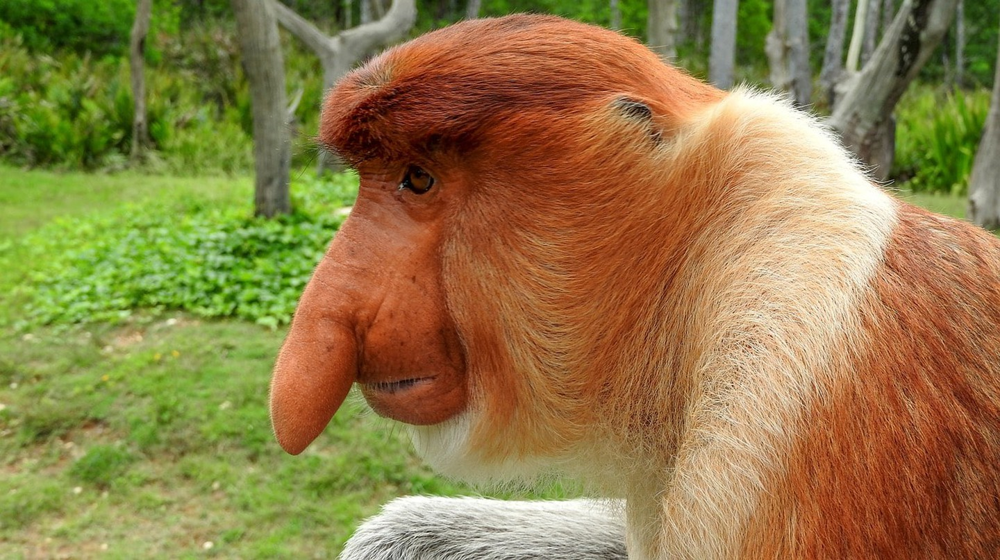Proboscis monkey: What a face!
