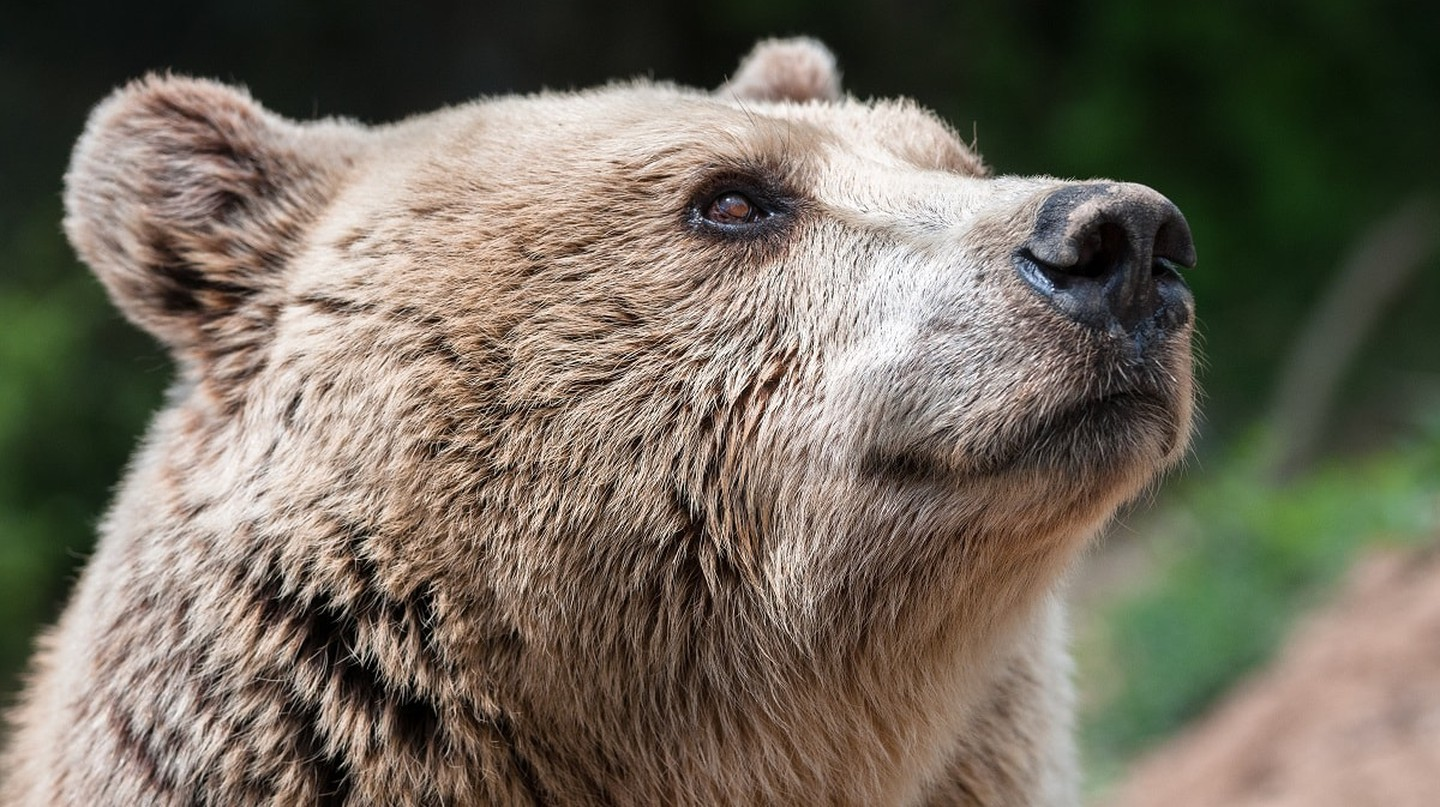 Switzerland will soon provide a sanctuary for five brown bears | © Arosa Tourismus
