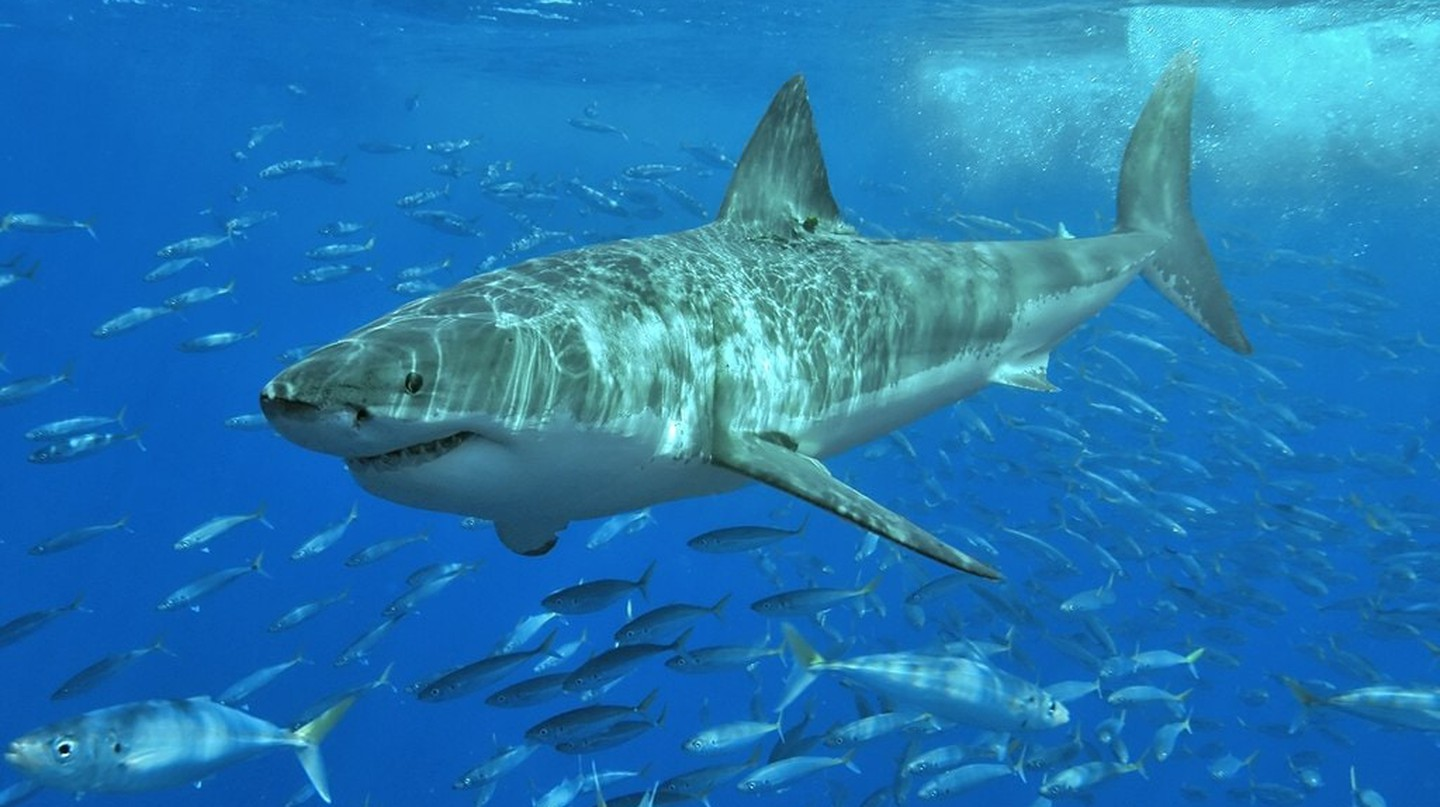 Great white shark | © Pterantula/Wikimedia Commons