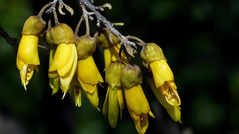 Kōwhai tree | © Bernard Spragg/Flickr