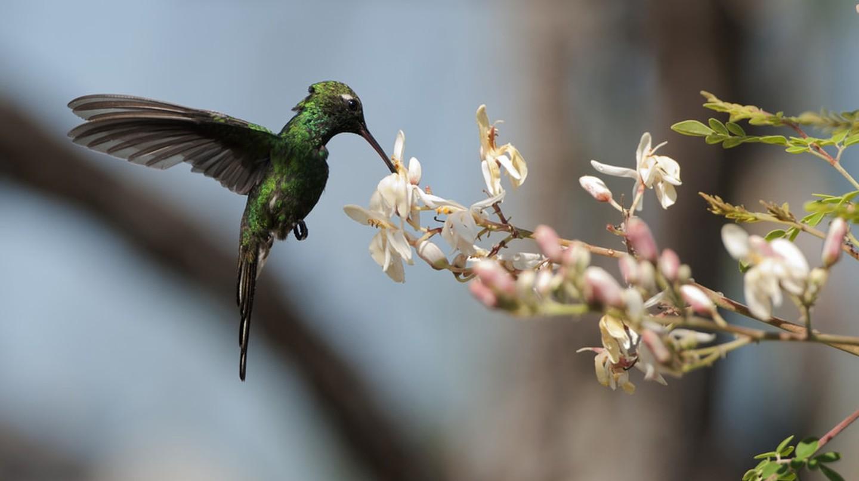Cuban emerald hummingbird (chlorostilbon ricordii), Cienaga de Zapata, Cuba