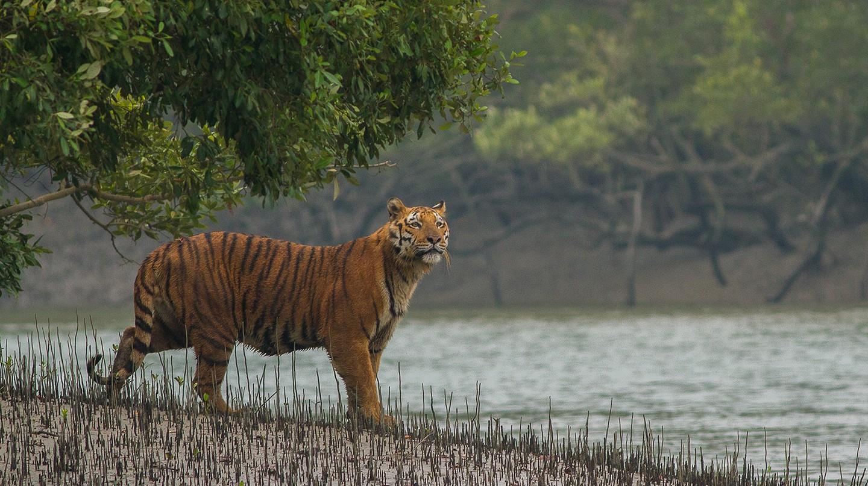 Royal Bengal Tiger at Sundarbans National Park | Soumyajit Nandy /WikiCommons
