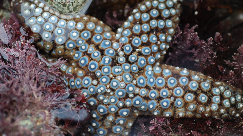 Starfish at Cabrillo National Monument
