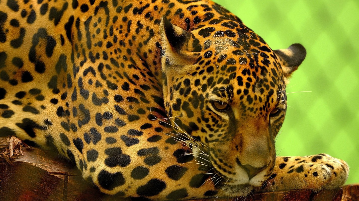 Why Traditional Chinese Medicine Could be Endangering Jaguars