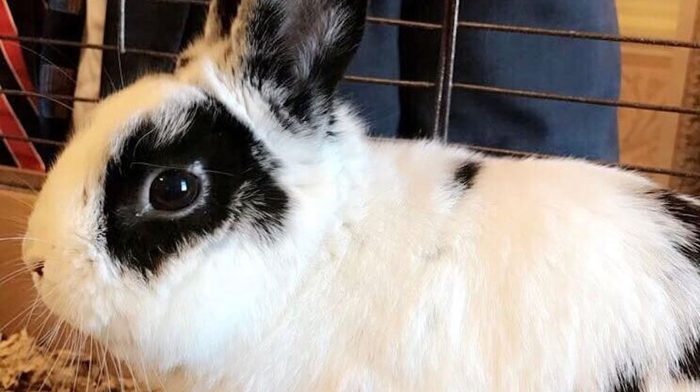 Marlon Bundo, the Pence family's pet rabbit