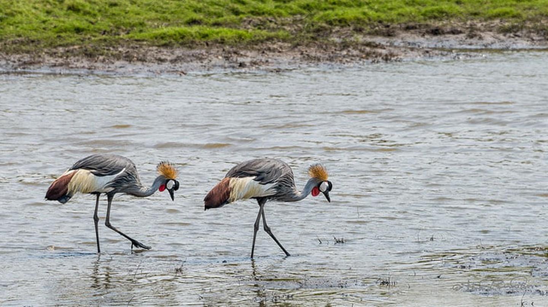 Crowned crane at Kafue National Park