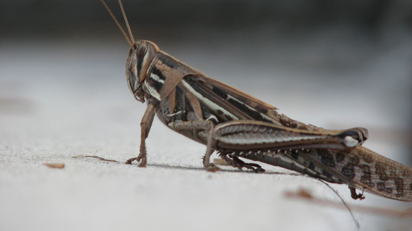 A plague of grasshoppers almost destroyed Minnesota