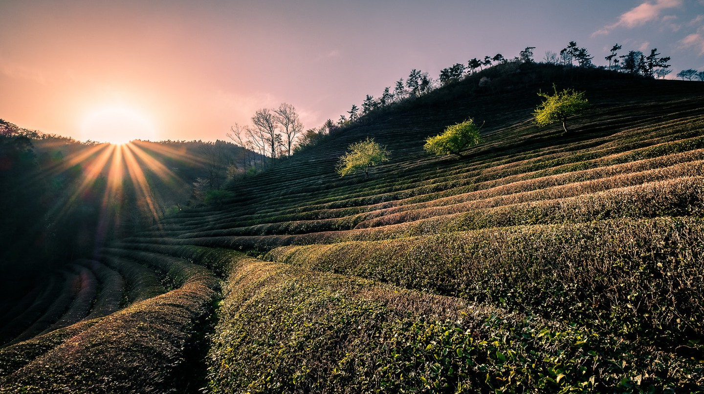 Tea fields at Daehan Dawon | © Giuseppe Milo / Flickr