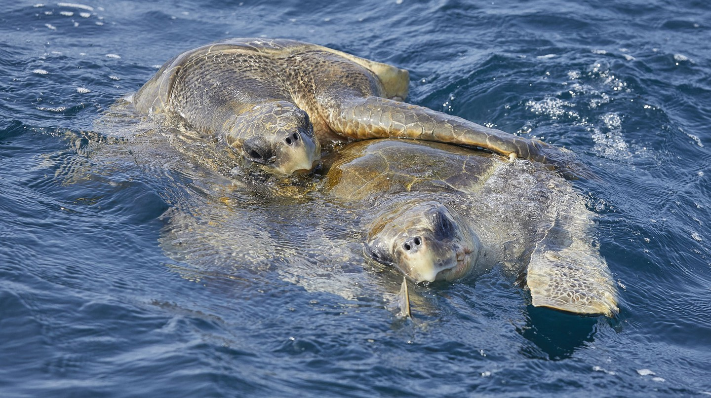 Green Turtles mating in Sri Lanka waters |