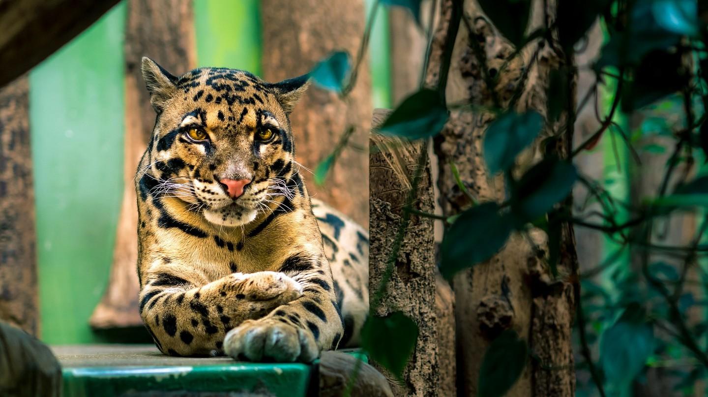 Meet clouded leopards at Phnom Tamao Wildlife Rescue Centre