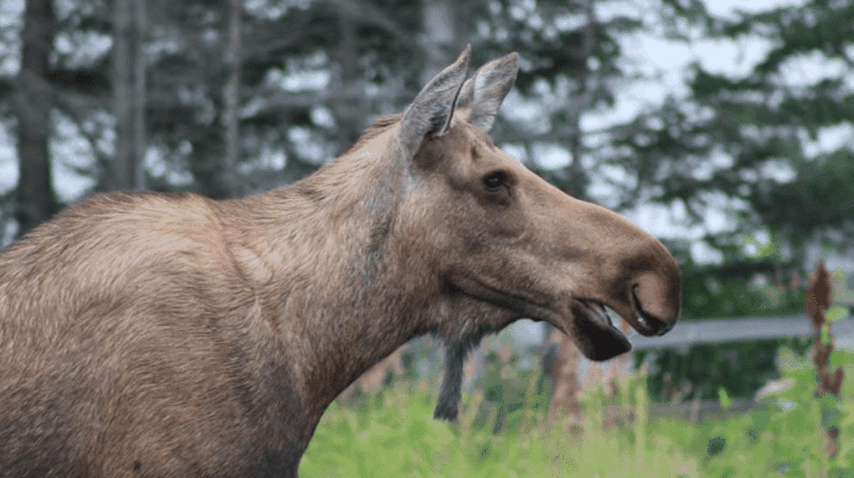 Alaskan moose | © Bailey Berg
