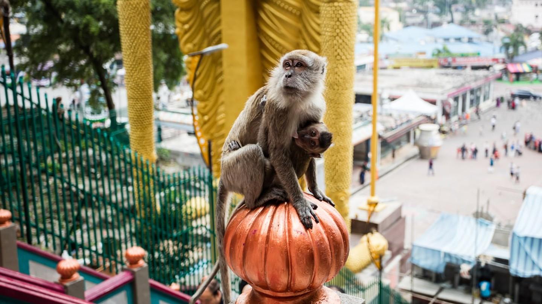 Macaque monkey in Batu Caves
