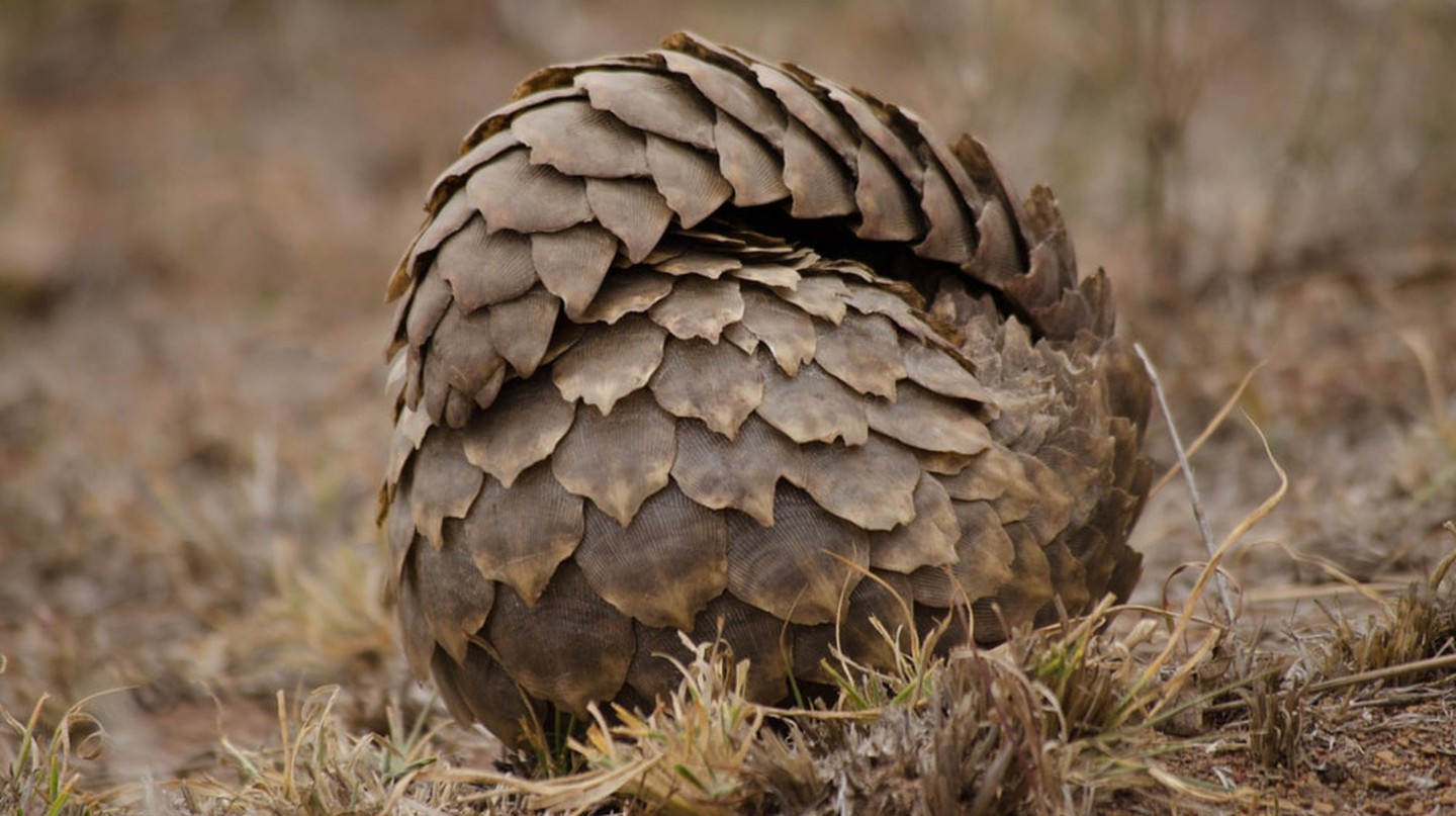A rolled up pangolin