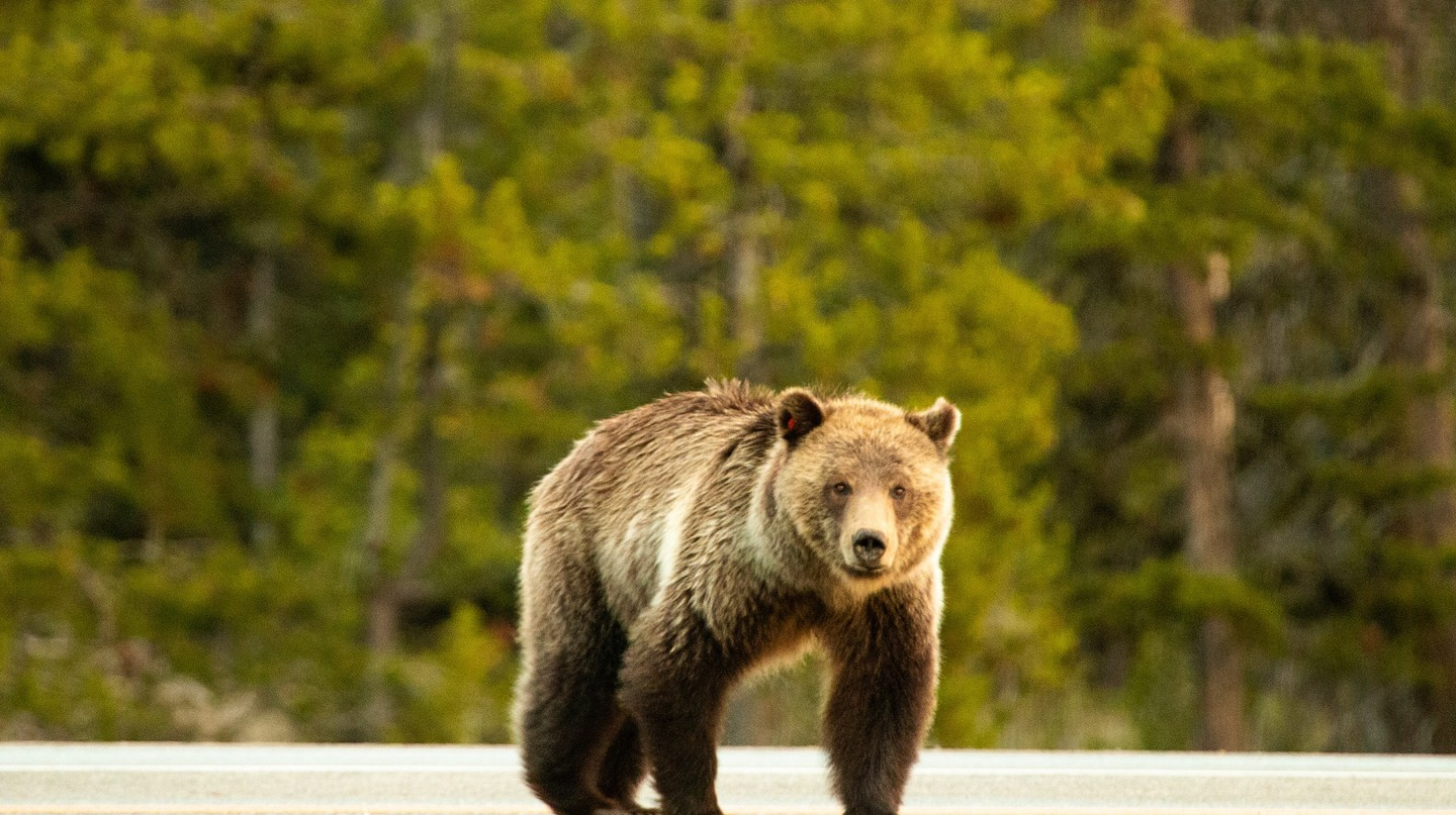 "Lewis and Clark came up with the phrase ""grizzly bear"""