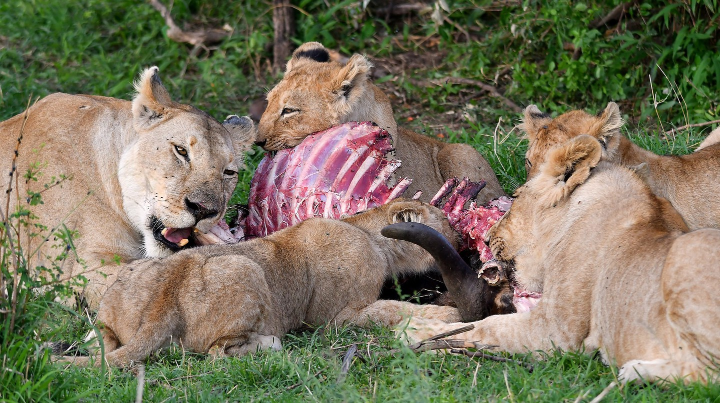 Lions eating prey
