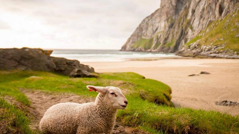 A lamb having kos time in Lofoten