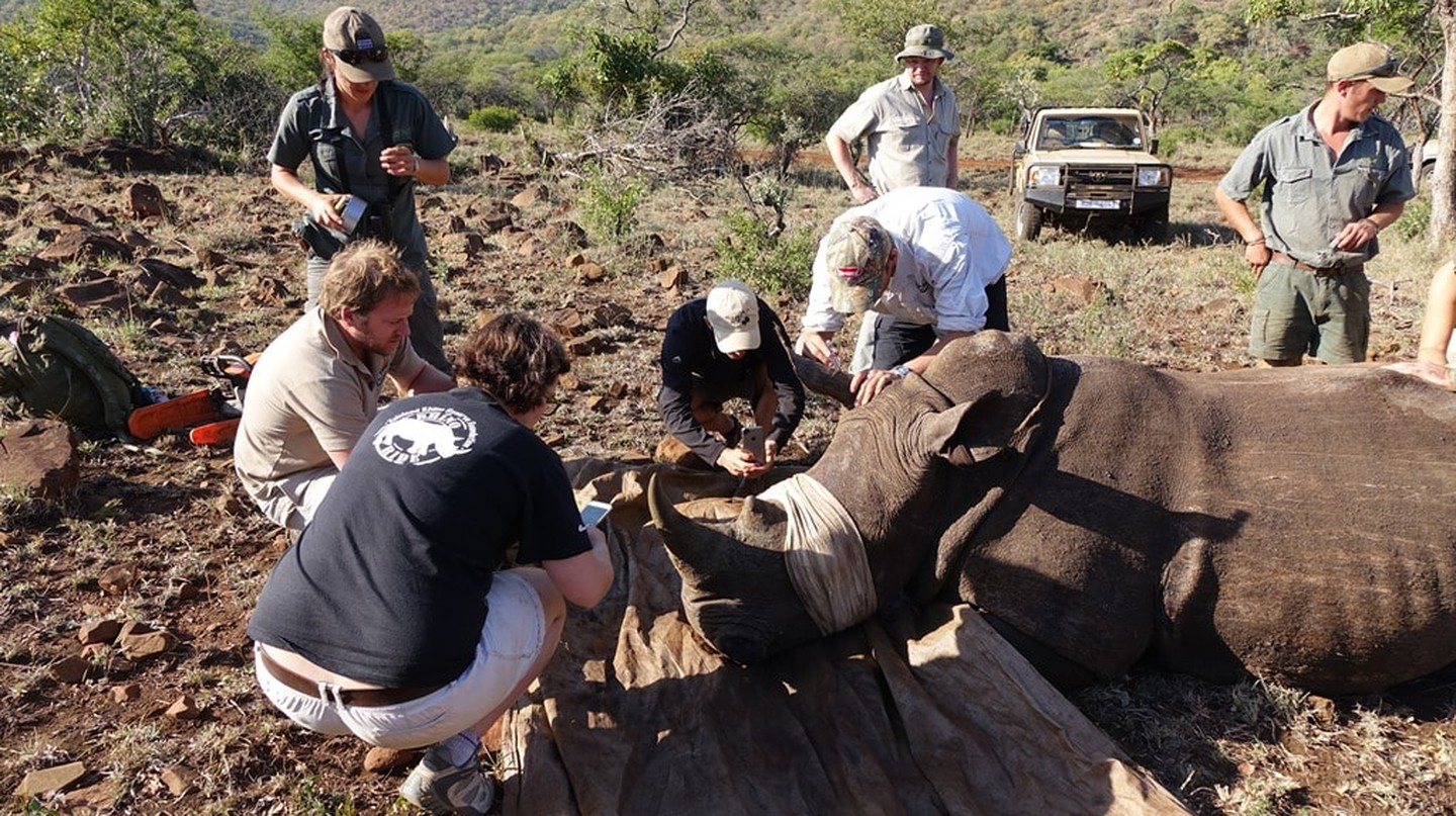 Preparing a white rhino for dehorning