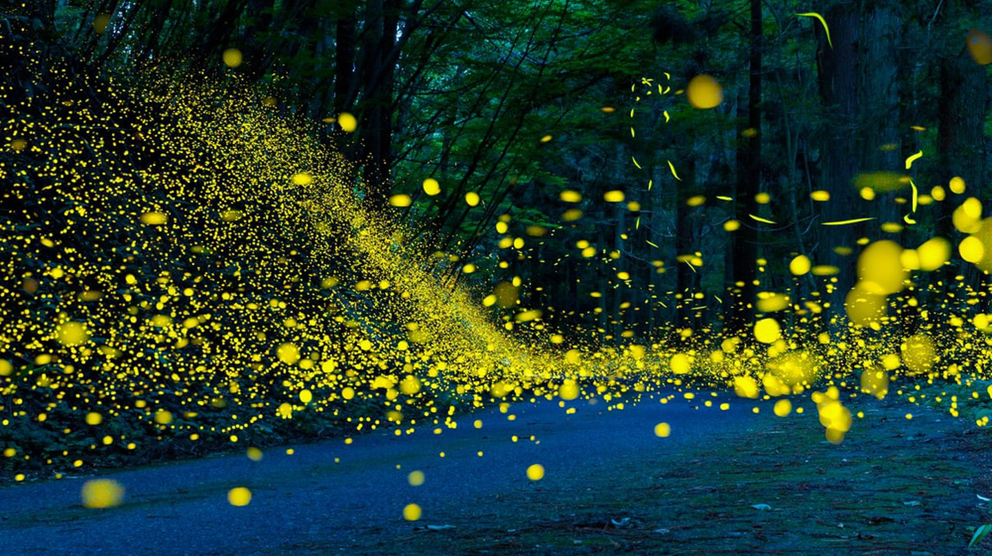These Fireflies Are Syncing Up for a Rare Natural Light Show