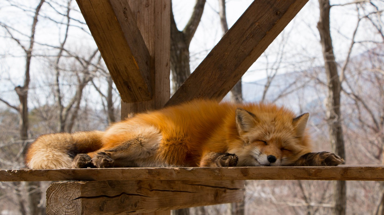 Cheeky fox sleeping