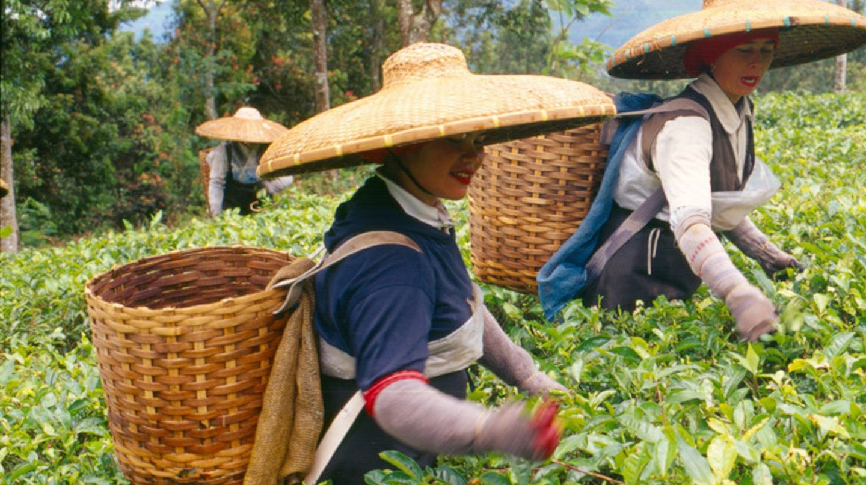 Tea plantation in Bogor, Indonesia