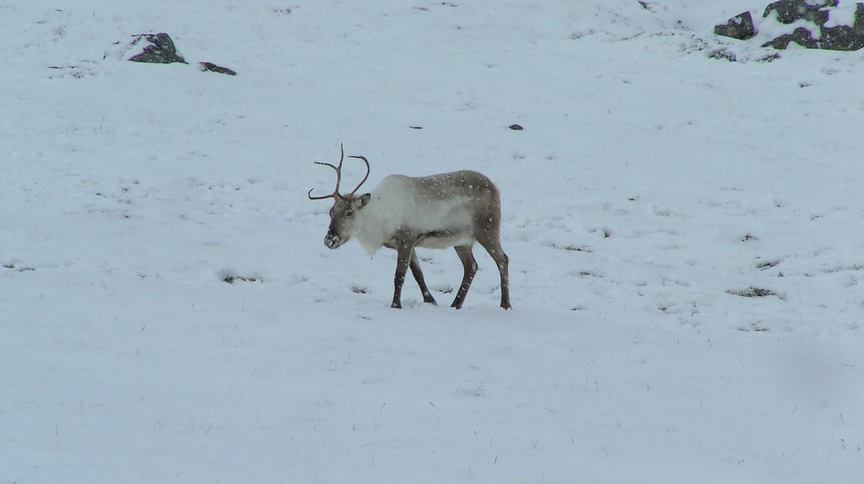 Reindeer up on the pass to Egilstadir